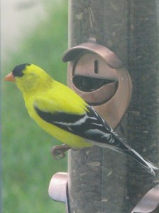 June 28 Gold Finch