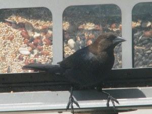 Return of Cowbird