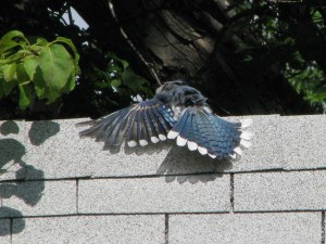 Blue Jay wings