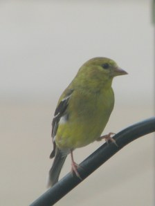 Gold Finch 8 23 2012