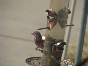 Young Male House Finch