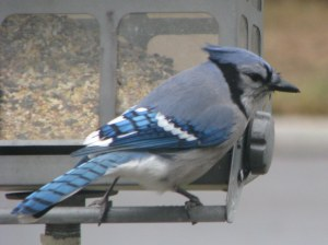 Blue Jay returns But due to weight feeder closes