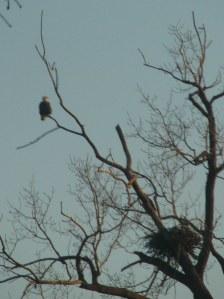 Keller Lake Eagle