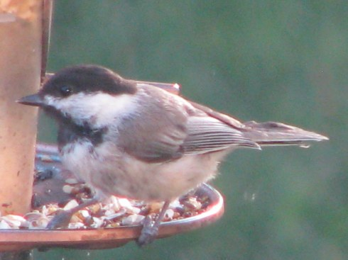 Chickadee July 31 2013
