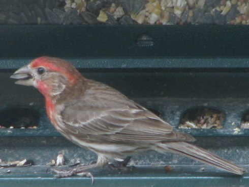 House Finch with Seed