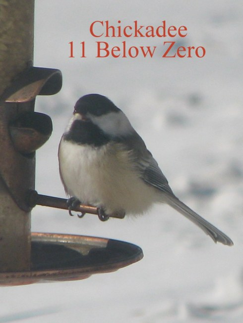 Chickadee !! Be;ow Zero