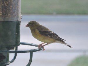 081914 Gold Finch