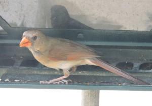 Cardinal_edited-1