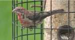 House Finch-1