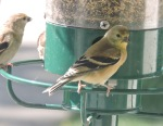 Two gold Finch-1