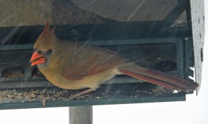 Female Cardinal_edited-1