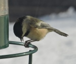Chickadee_edited-1