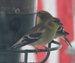 Goldfinch_edited-1
